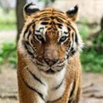 Hale_Tiger